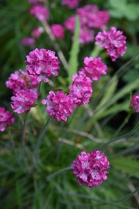 Armeria Morning Star (Deep Rose)