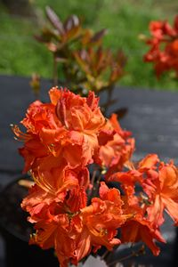 Azalea Mary Poppins