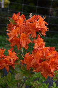 Azalea Old Copper