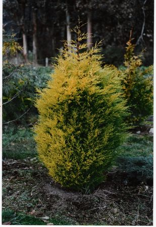 Golden Monterey Cypress