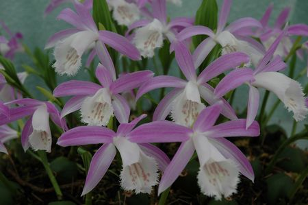 Pleione formosana Paul Every