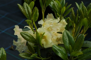 Rhodo Gold Finger
