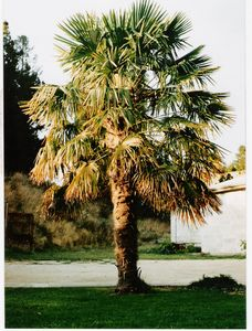 Fan Palm or Chusan Palm