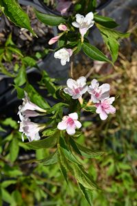 Weigela Appleblossom