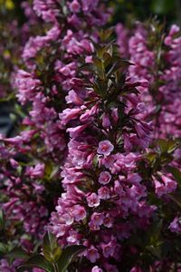 Weigela f. Foliis Purpureis