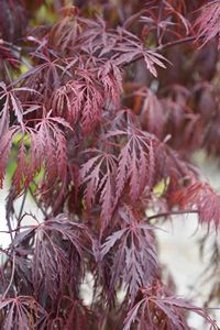 Purple Weeping Maple