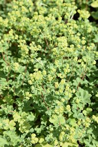 dwarf lady's mantle