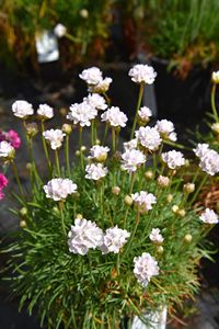 Armeria Morning Star White
