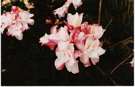 Blue Mountain Double Azalea