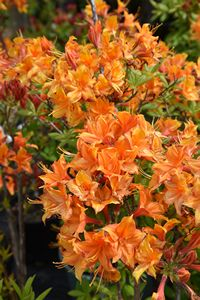 Azalea Golden Eagle