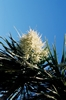 NZ Cabbage Tree