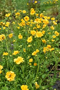 Geum chiloense Goldball