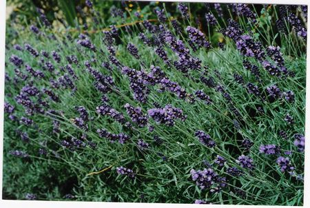 Blue English Lavender