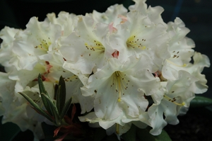 Rhodo Alan Johnstone
