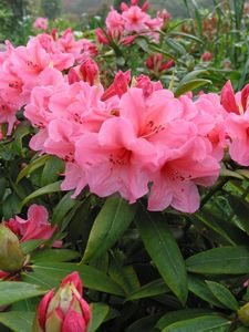 Rhodo Gary Wally