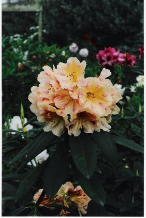 (King of Shrubs x Souvenir of Anthony Waterer)