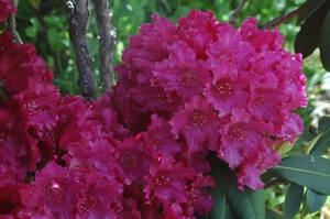 Rhodo Most Admired