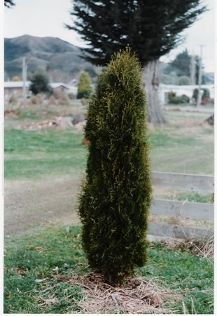 Thuja occidentalis Holmstrup