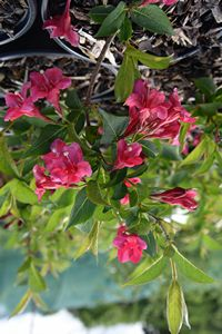 Weigela Newport Red